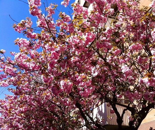 Körsbärsträdet... så vackert!