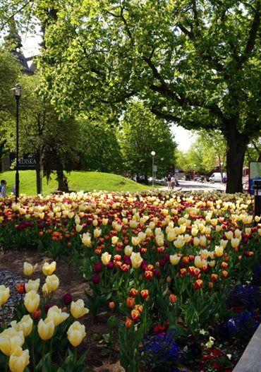 Tulpanerna håller på att blomma ut