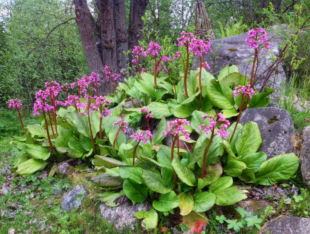 Bergenian lyser upp trädgården med sina djuprosa blommor.