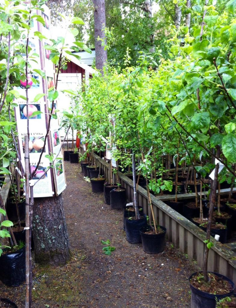Träd, träd och träd i långa banor. Och billigt! 350:- för ett äppelträd - gyllene kitajka. (malus domestica) härdig och rätt lågväxande träd med klarglas, söt frukt som sitter direkt på grenen.