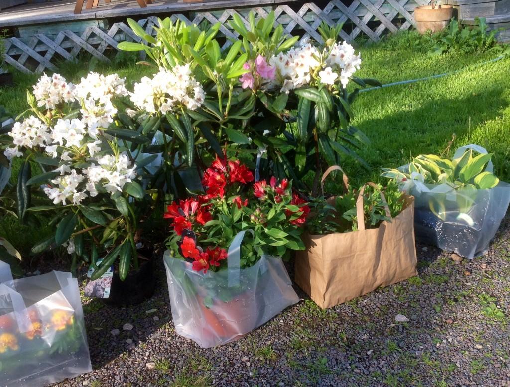 Inhandlade tre rododendron. En haaga och en vit , också finsk sort. ( tigerstedtii-ryhmä på finska) Köpte även en Astroemeria, bara för att den var så vacker. Några hostor, lite sommarblommor samt tre rosor - winnipeg park.