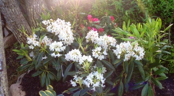 Rhododendronrabatt i Lappland? Jajjemensan!