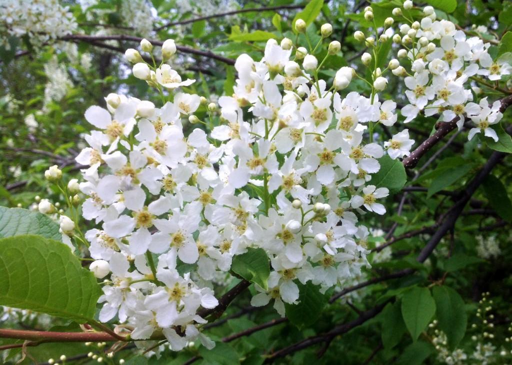 Häggen har börjat blomma! Nice! :-)