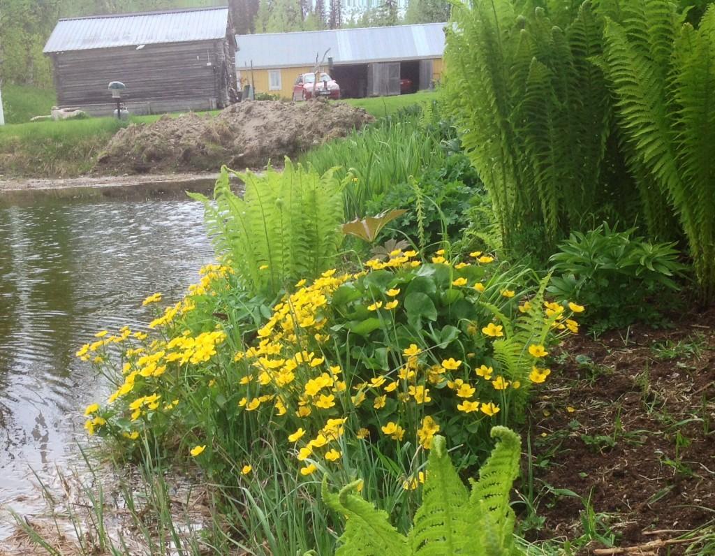 Det började med ett par små plantor hämtade från en bäck i närheten. I dag har de spridit sig runt hela dammen och  skänker oss enorm glädje nu på försommaren.