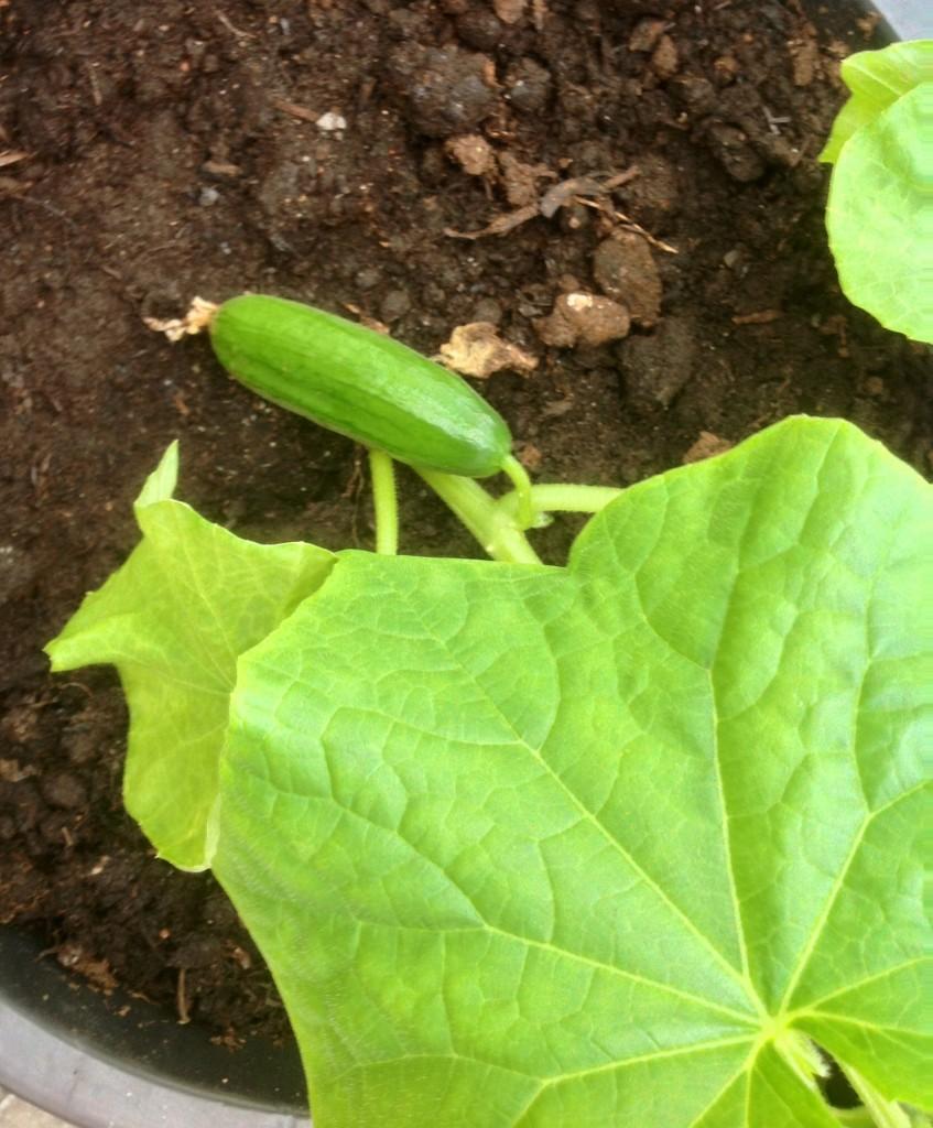 """Har fyra små gurkor på gång... Blir nog en rekordtidig """"förstagurka"""" och denna gång har jag sått dom själv! :-)"""