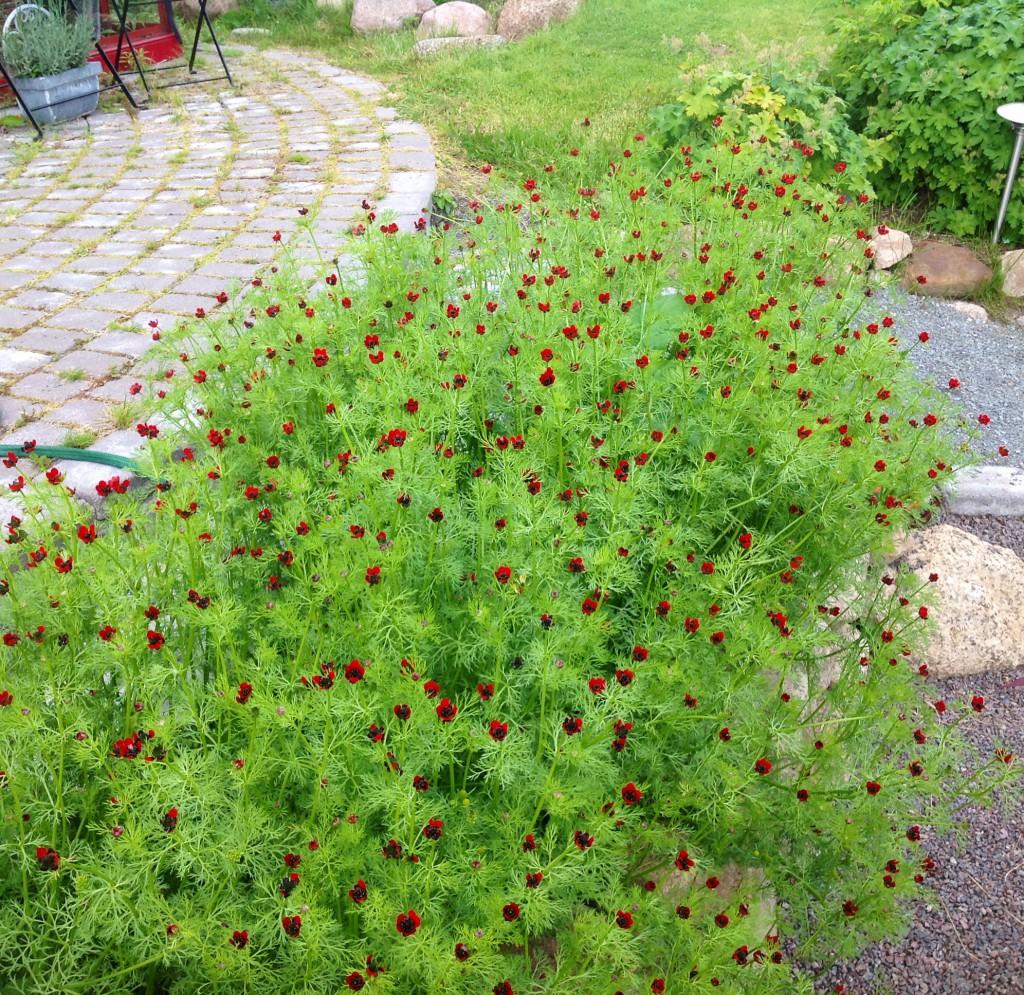 Sommaradonis heter denna frösådda sommarblomma. (Jag hittade fröpåsen!)