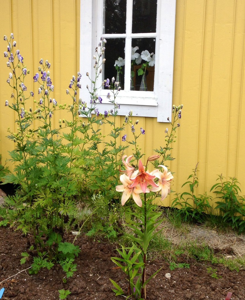Liljan vi köpte på växtmarknaden i Åskilje för två år sedan visar upp sin vackraste sida.