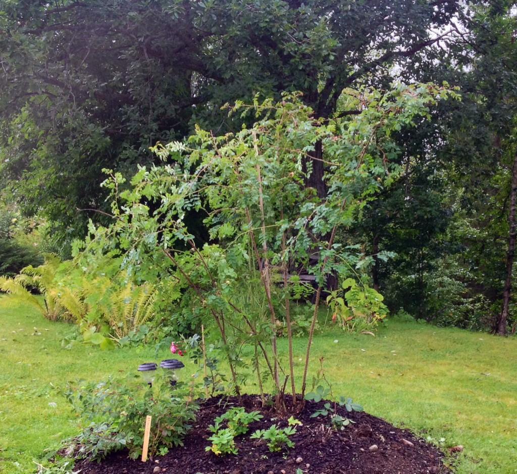 """Fick med oss ett """"rotskott"""" av rosen poppius från Norrbyberg. Ett av de största rotskott jag skådat. ;-)"""