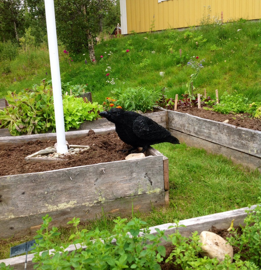 Det stackars korpen fick tyvärr bo ladan halva dagen på grund av min vidskeplighet. Men tillslut fick han sitta i kryddträdgården.