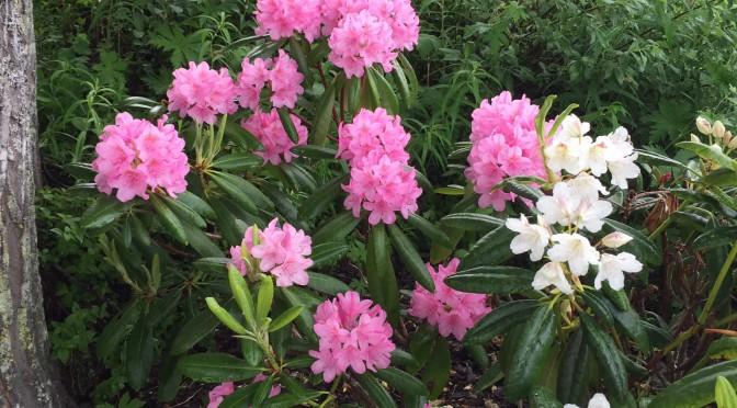 Nu blommar våra rododendron