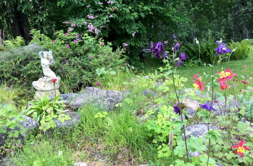 Aklejor och tornedalsrosen blommar... Den 12 augusti!!!