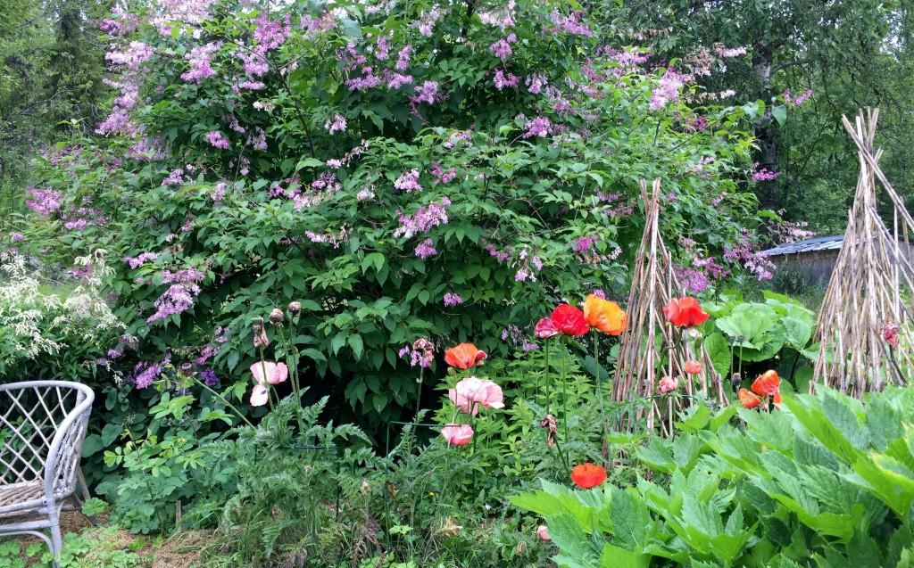 Syren och Vallmo i full blommning.. den 12 augusti!
